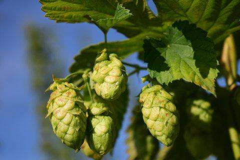 Hopbellen lekker voor bier